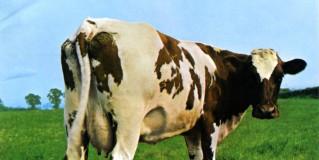 Música y vacas lecheras