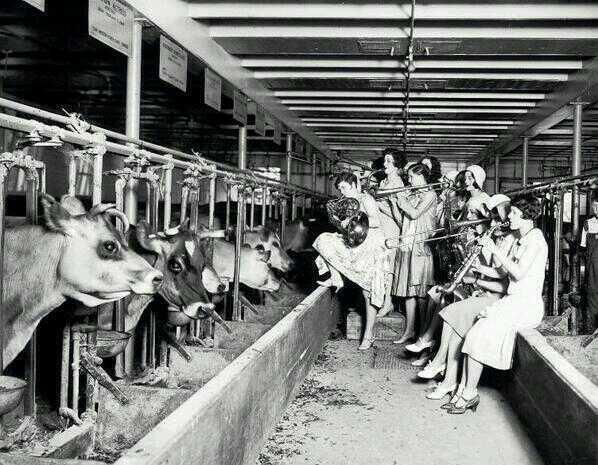 Música y vacas